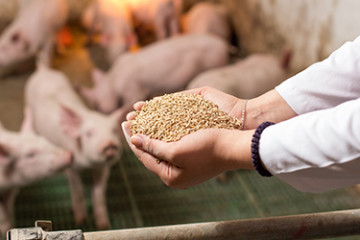Veterinarian holding dry food in granules in hands and offering to piglets in stable