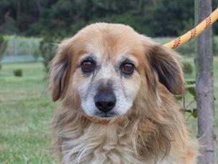 pies wielorasowiec, oklapnięte uszka, dłuższa sierść w koloerze orzechów laskowych,